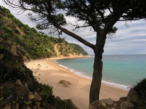 Pinos al borde del mar, una imagen típica de la Costa Brava que esta cala comparte