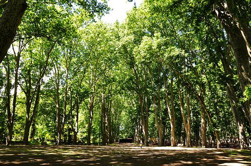Los árboles del Parque de la Devesa, en Girona, se encuentran plantados unos junto a otros