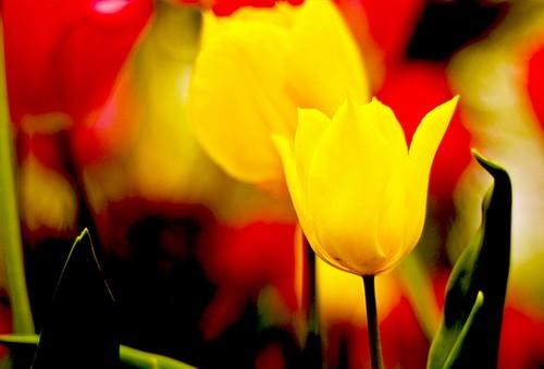 La diversidad de flores en el Parque de la Devesa es notable. Un ejemplo de ellos son estos preciosos tulipanes