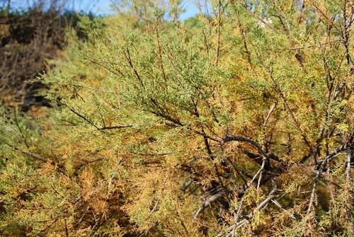 La Cala Tamariua se encuentra rodeada de una rica vegetación mediterránea, entre ella, muchísimos ejemplares de tamarindos, que dan nombre a la cala