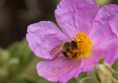 El sendero se encuentra rodeado de vegetación durante el recorrido y a menudo con flores preciosas de las liban las abejas