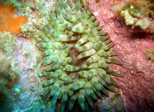 Es nuestra inmersión comprobamos la increíble cantidad de especies submarinas desconocidas para nosotros... algunas de difícil descripción si no es mediante un símil erótico!