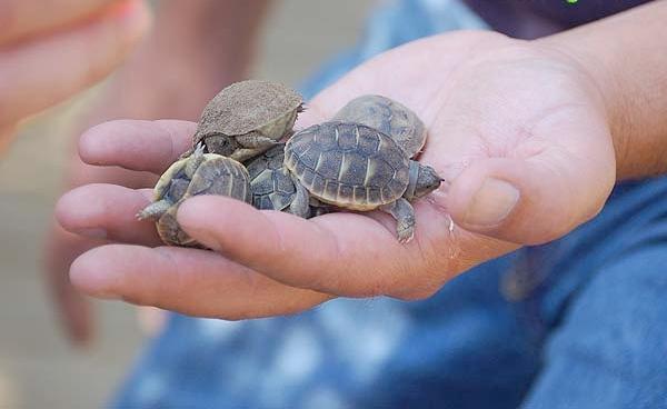 En el Centro de Reproducción de Tortugas de las Alberas consiguen reproducir tortugas mediterráneas que después muestran a los visitantes en un ambiente lúdico y formativo. La mayoría de ellas serán liberadas a su hábitat controladamente.
