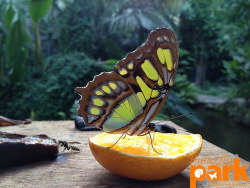 Resulta que las mariposas tienen el sentido del gusto en sus patitas!