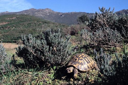 Gracias a la acción, entre otras medidas, del Centro de Reproducción de Tortugas de las Alberas (CRT) todavía es posible encontrar especies en libertad entre estas montañas