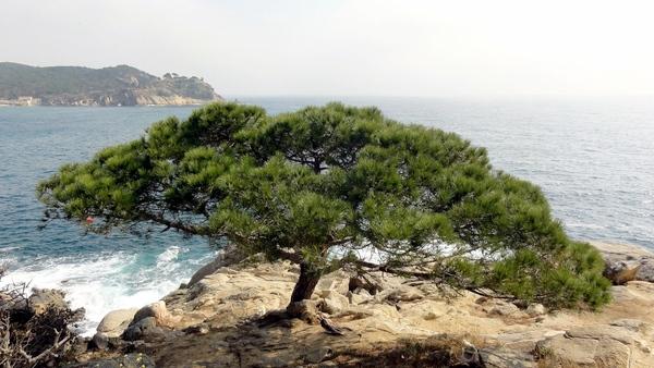 Pinos junto al mar, algunos surgido de la propia roca, caminos de ronda, vistas magníficas... este es el precioso entorno natural que la Pineda d'en Gori ofrece a sus visitantes