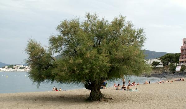 Este es el precioso árbol tamarindo que crece en medio de la Playa Grifeu, sobre la arena y a pocos metros del mar. Todo un símbolo.