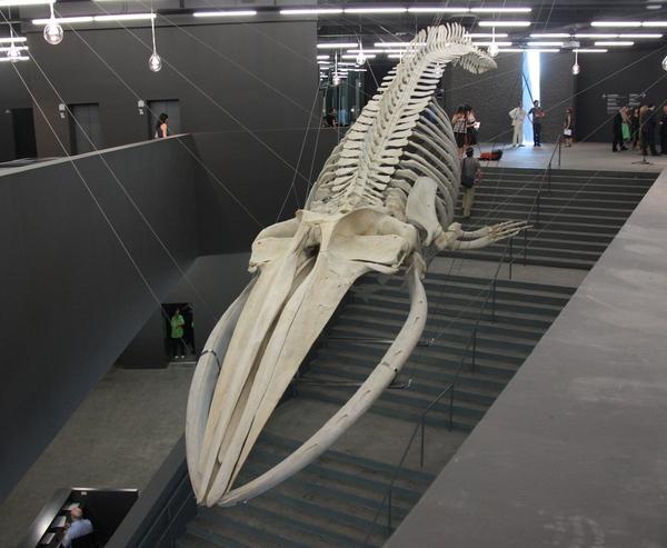 El esqueleto de la ballena encontrada en 1862 en el Cap Ras, en Llançà, se encuentra expuesto suspendido en el techo de la entrada del Museu Blau de Ciencias Naturales, en Barcelona