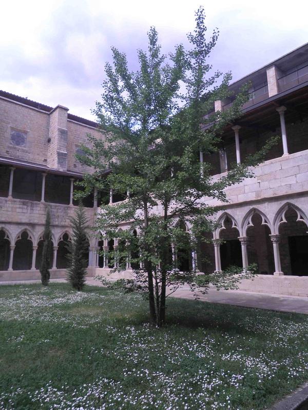 Árbol Gingko Biloba en el claustro del Convento de Sant Domènec, una joya botánica