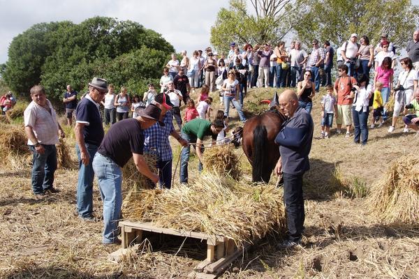Siega tradicional arroz de Pals