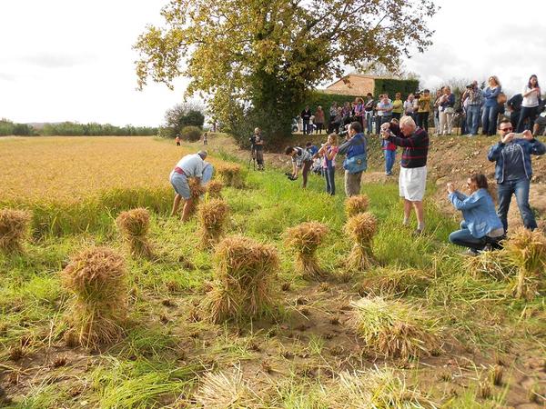 Año tras año la Siega Tradicional del Arroz de Pals atrae a lugareños de la zona aunque también a turistas deseosos de conocer esta técnica y el paisaje