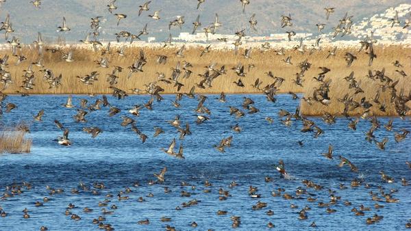 Dado que la playa se encuentra junto a la Reserva Natural de los Aiguamolls de l'Empordà no es extraño ver volar en la playa y las lagunas que la rodean a bandadas de aves que habitan en la zona