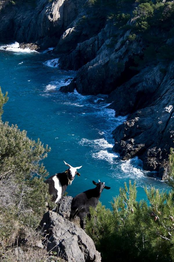 Las cabras son animales excelentemente adaptados a regiones montañosas. En el Cabo de Creus no las encontramos normalmente en libertad (se evita así dañar la flora), aunque es posible que ocasionalmente algunas puedan escaparse de su rebaño y tomar el sol, como estas dos despistadas. No son especialmente peligrosas.
